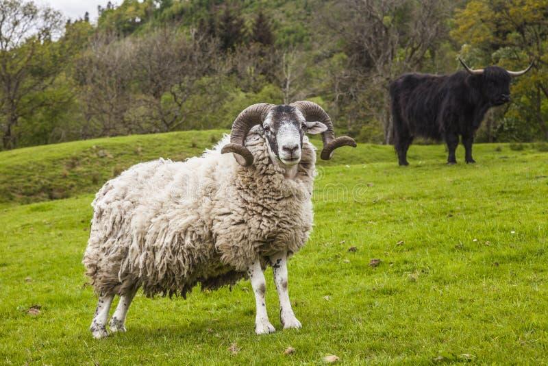 Βασιλιάς του λιβαδιού - απίστευτα σκωτσέζικα πρόβατα και βοοειδή στοκ φωτογραφία με δικαίωμα ελεύθερης χρήσης