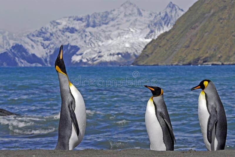 Βασιλιάς Penguins, νότια Γεωργία, UK στοκ εικόνες
