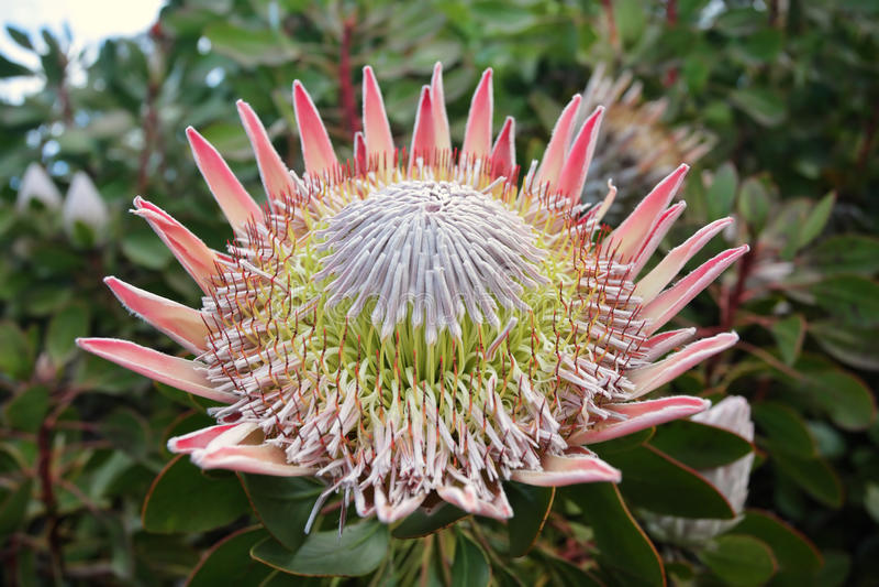 Βασιλιάς Protea Cynaroides στοκ εικόνες με δικαίωμα ελεύθερης χρήσης