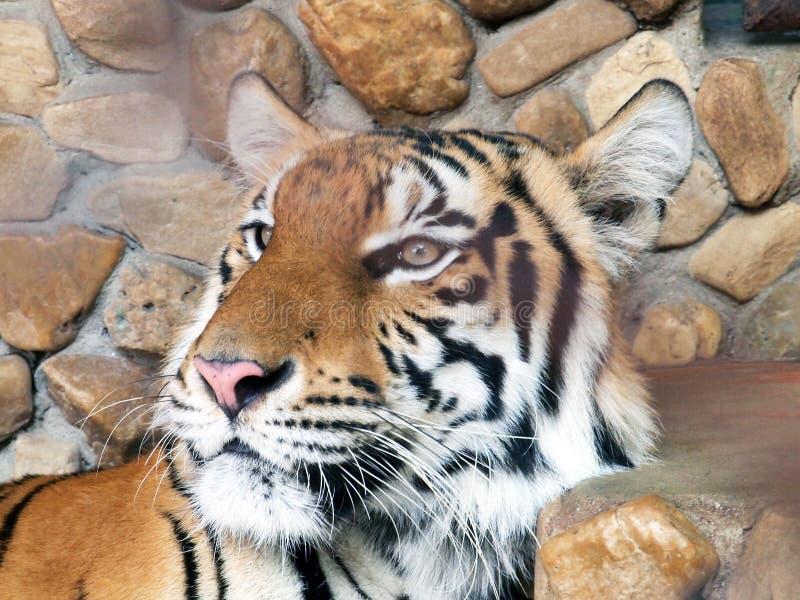 Download βασιλική τίγρη της Βεγγάλης Στοκ Εικόνα - εικόνα από κυνηγός, ζούγκλα: 62705391
