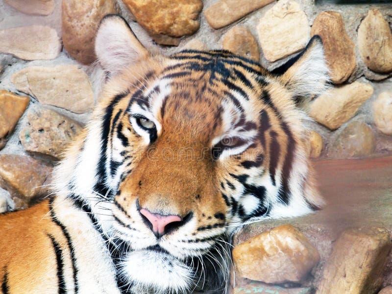 Download βασιλική τίγρη της Βεγγάλης Στοκ Εικόνες - εικόνα από γάτα, hera: 62705708
