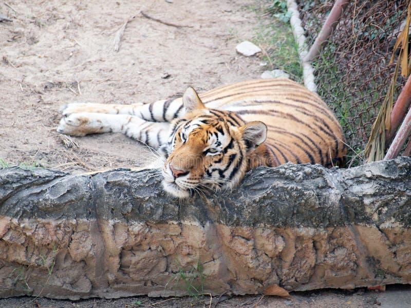 Download βασιλική τίγρη της Βεγγάλης Στοκ Εικόνα - εικόνα από carnivore, καλοκάγαθη: 62706439