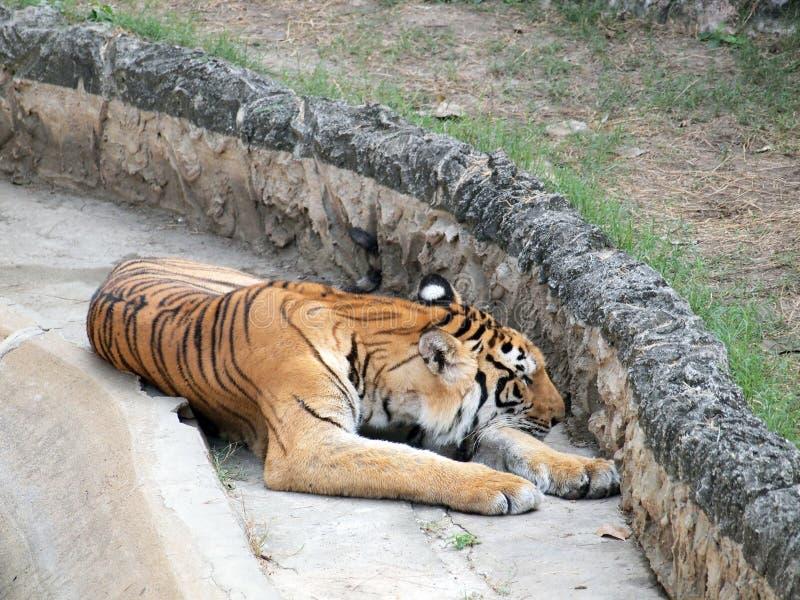 Download βασιλική τίγρη της Βεγγάλης Στοκ Εικόνες - εικόνα από hera, κεφάλι: 62706576