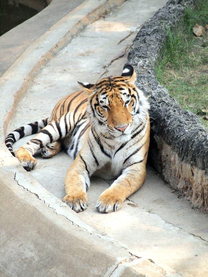Download βασιλική τίγρη της Βεγγάλης Στοκ Εικόνα - εικόνα από κυνηγός, βρυχηθμός: 62708555