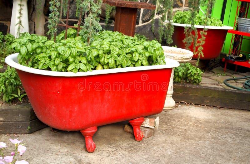 Βασιλικός σε μια κόκκινη μπανιέρα στοκ φωτογραφία με δικαίωμα ελεύθερης χρήσης