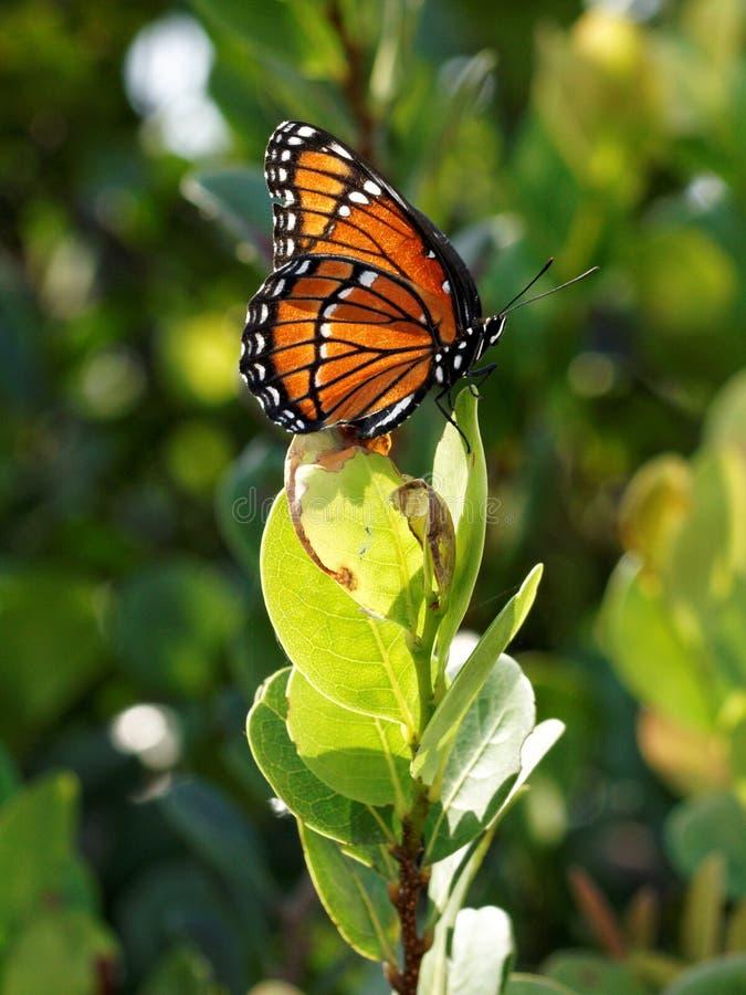 Βασιλοπρεπής πεταλούδα μοναρχών στοκ εικόνες