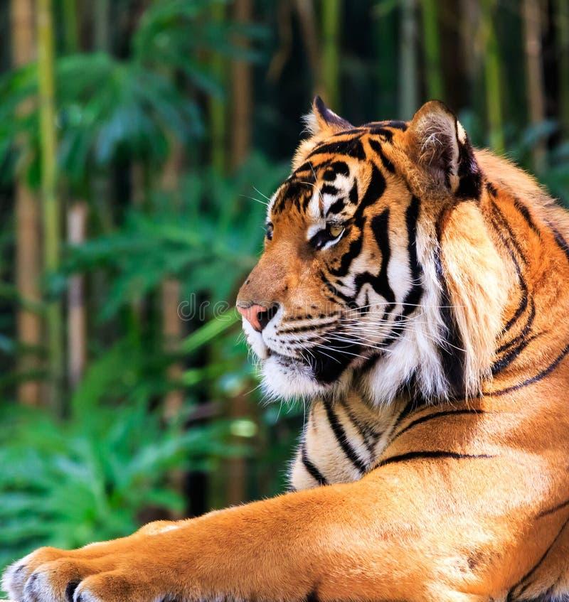 Βασιλοπρεπής τίγρη στοκ εικόνες