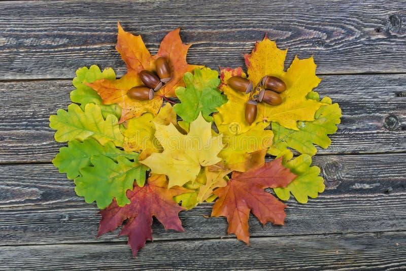 Βαλανιδιά και φύλλα σφενδάμου σε ένα ξύλινο υπόβαθρο στοκ εικόνα με δικαίωμα ελεύθερης χρήσης