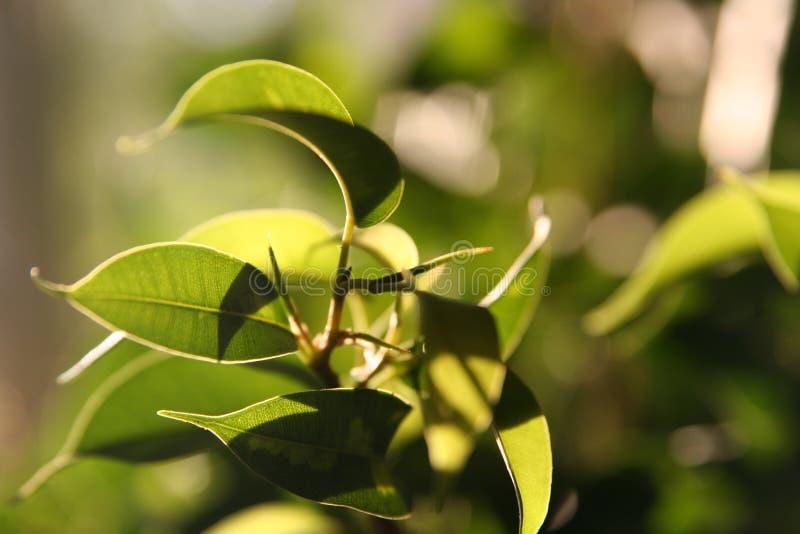 Download βγάζει φύλλα ηλιοφώτιστο στοκ εικόνα. εικόνα από θάμνος - 525293