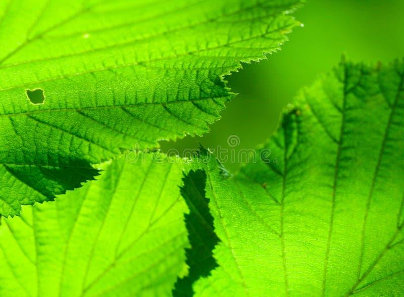 βγάζει φύλλα το καλοκαί&rh στοκ φωτογραφίες με δικαίωμα ελεύθερης χρήσης