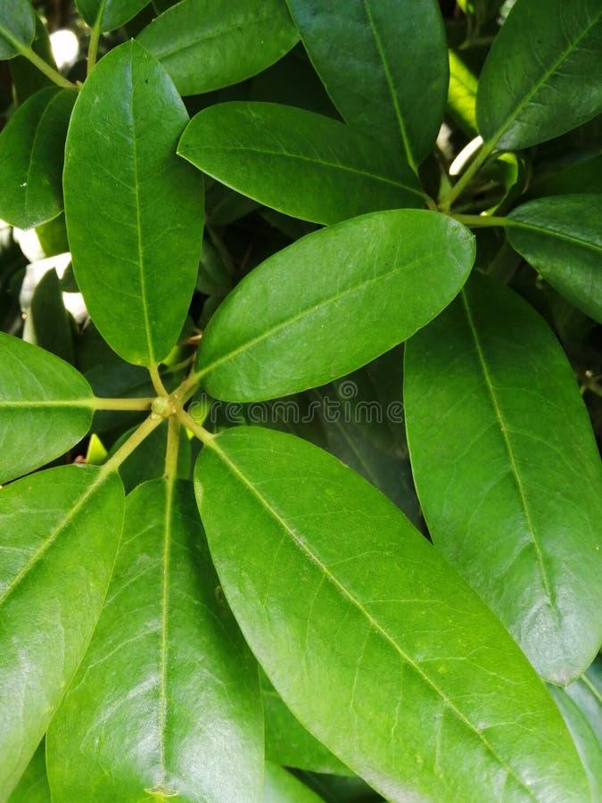 Βγάζει φύλλα rhododendron, αζαλέα για το όμορφο διαφορετικό σχέδιο στοκ φωτογραφία με δικαίωμα ελεύθερης χρήσης