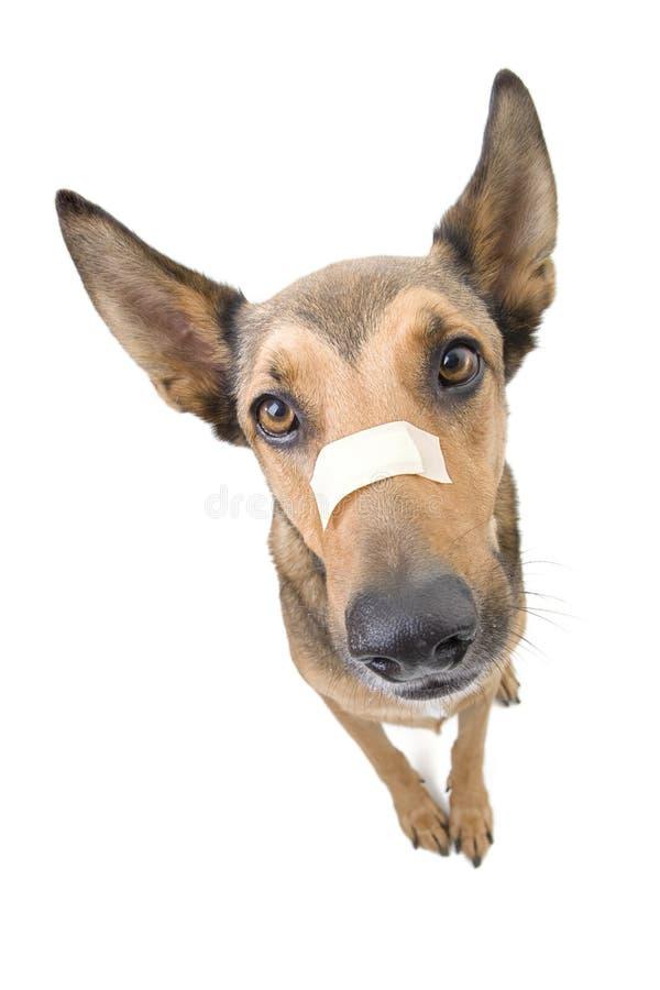 βελγική μύτη malinois τραυματισμώ στοκ εικόνες με δικαίωμα ελεύθερης χρήσης