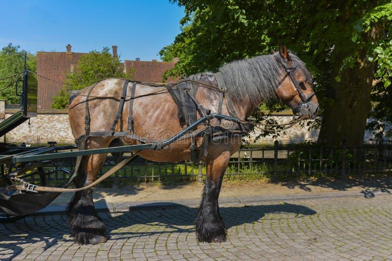 Βελγικό άλογο λεωφορείων στοκ φωτογραφία