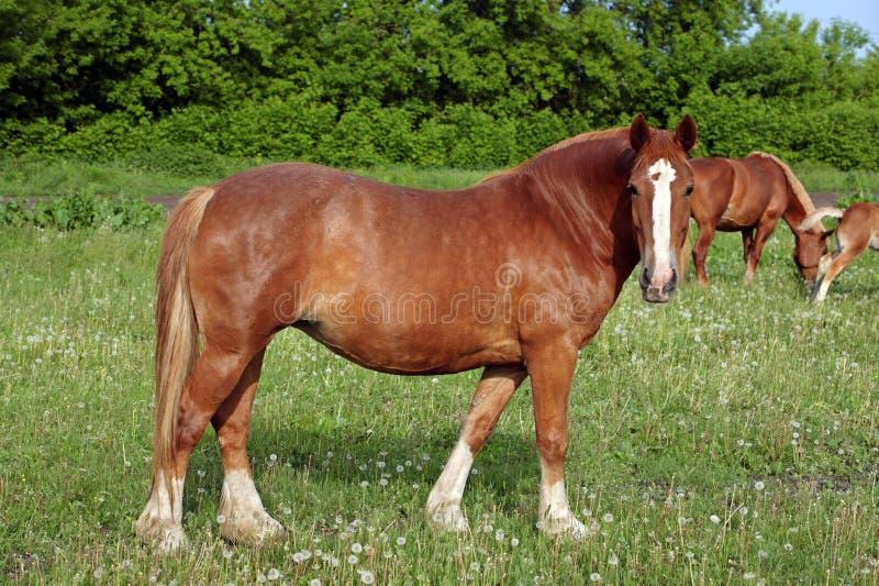 Βελγικό άλογο σχεδίων στη χλόη στοκ εικόνες
