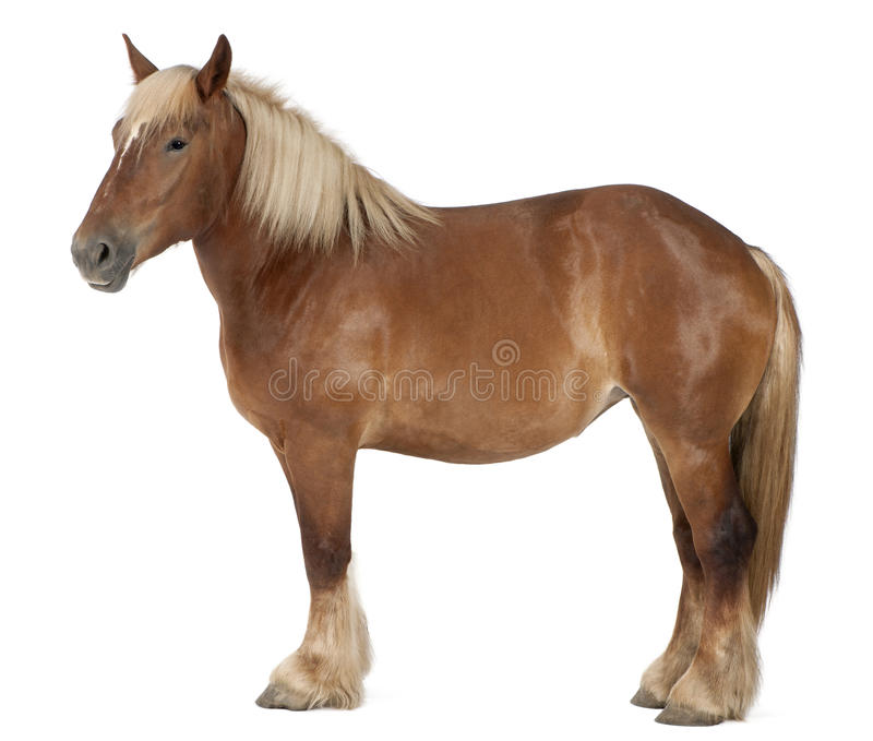 βελγικό βαρύ άλογο brabancon στοκ εικόνες με δικαίωμα ελεύθερης χρήσης
