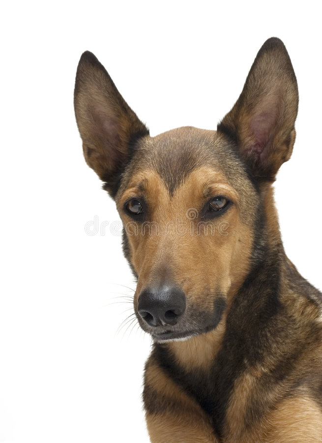 βελγικό τσοπανόσκυλο π&om στοκ εικόνες