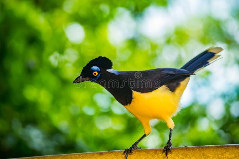 Βελούδο-λοφιοφόρο jay πουλί στις βραζιλιάνες πτώσεις Iguazu στοκ φωτογραφίες