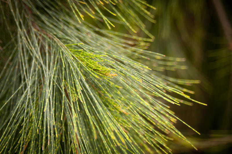 Βελόνες δέντρων πεύκων στοκ εικόνα