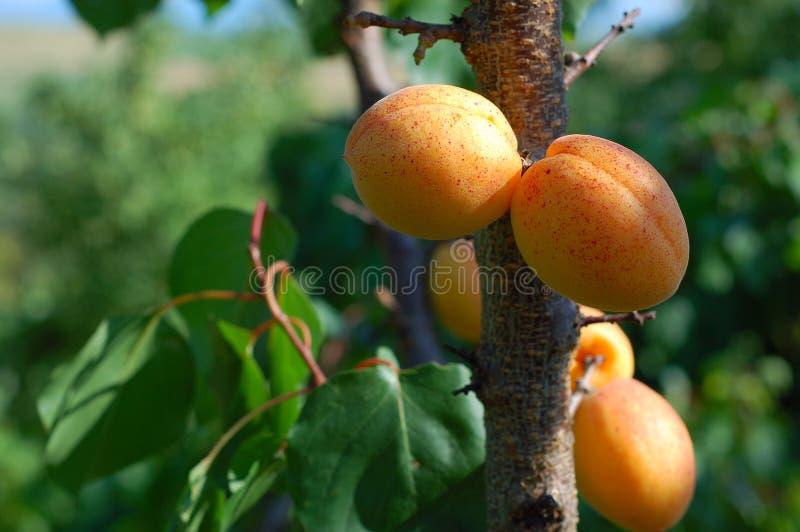 Download βερίκοκα στοκ εικόνα. εικόνα από καρπός, μάριος, δέντρο - 13186273