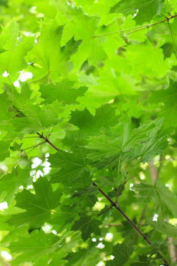 βεραμάν φύλλα σφενδάμου ενάντια στον ουρανό στοκ φωτογραφία με δικαίωμα ελεύθερης χρήσης