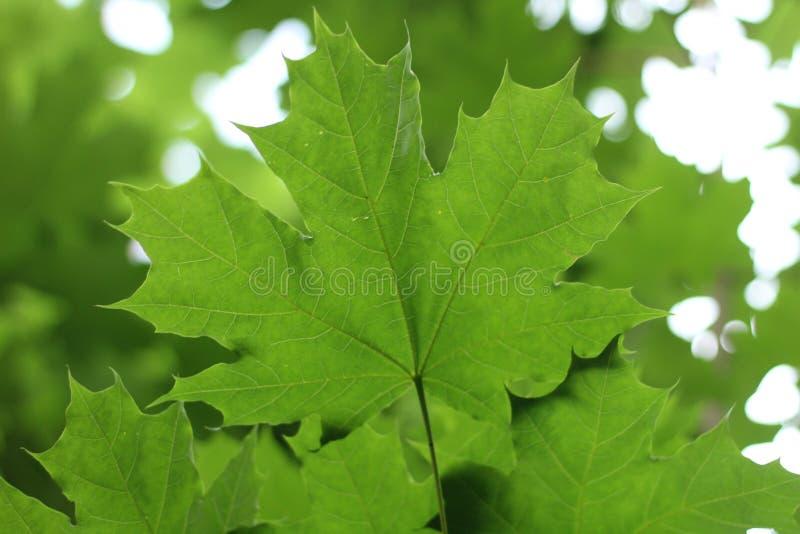 βεραμάν φύλλα σφενδάμου ενάντια στον ουρανό στοκ φωτογραφίες