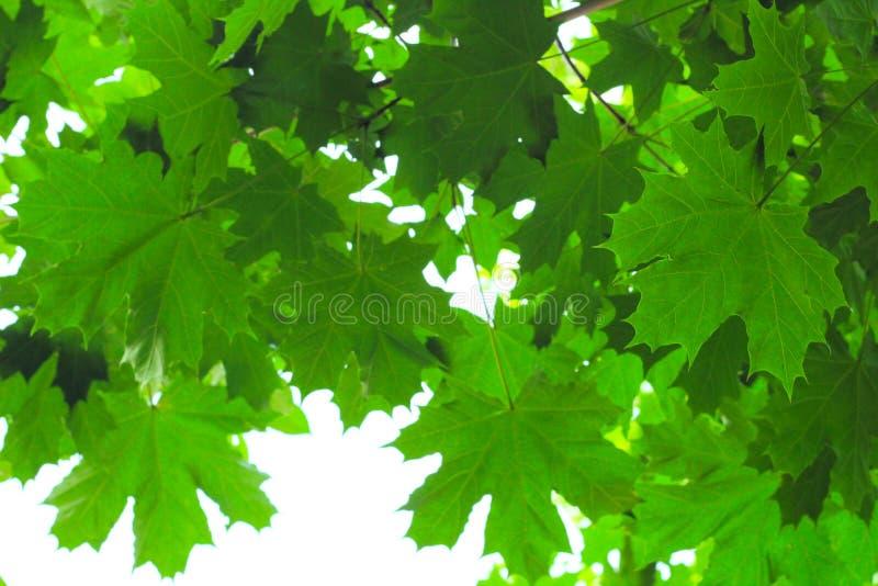 βεραμάν φύλλα σφενδάμου ενάντια στον ουρανό στοκ εικόνες