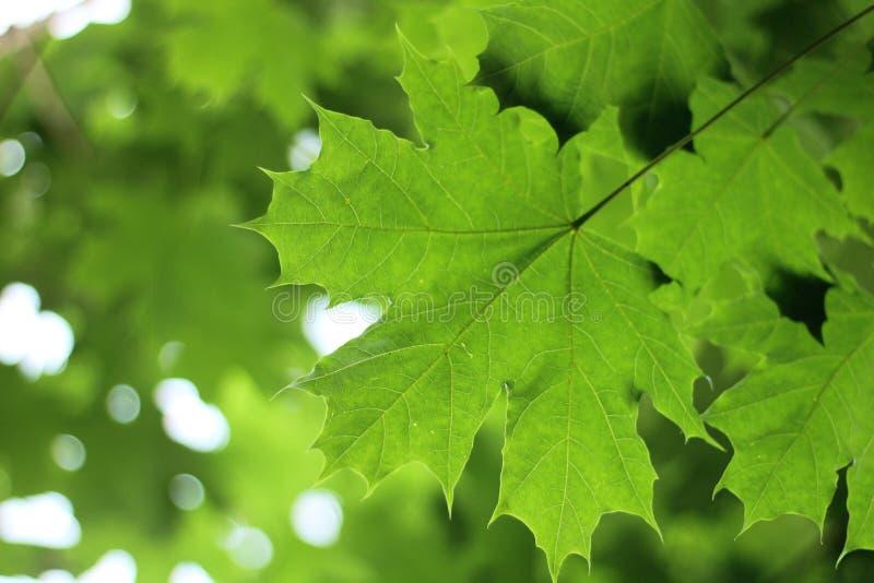 βεραμάν φύλλα σφενδάμου ενάντια στον ουρανό στοκ εικόνα