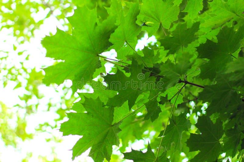 βεραμάν φύλλα σφενδάμου ενάντια στον ουρανό στοκ φωτογραφίες με δικαίωμα ελεύθερης χρήσης