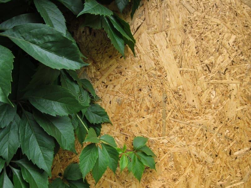 """Βεραμάν φύλλα των άγριων σταφυλιών """"quinquefolia Parthenocissus """"ενάντια σε έναν κίτρινο και χρυσό ξύλινο τοίχο στοκ εικόνες"""