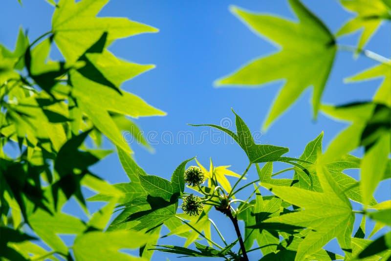 Βεραμάν Liquidambar φύλλων styraciflua, ηλέκτρινο δέντρο Μια κινηματογράφηση σε πρώτο πλάνο του φύλλου στην εστίαση στο κλίμα του στοκ φωτογραφίες με δικαίωμα ελεύθερης χρήσης