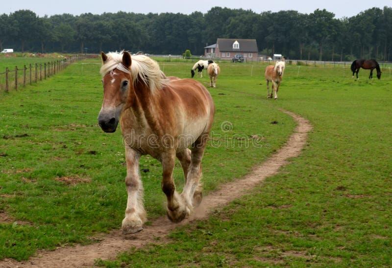 Βελγικό άλογο δράκων σε μια βιασύνη στοκ φωτογραφία
