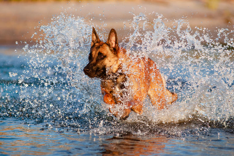 Βελγικό σκυλί ποιμένων στο νερό στοκ φωτογραφία