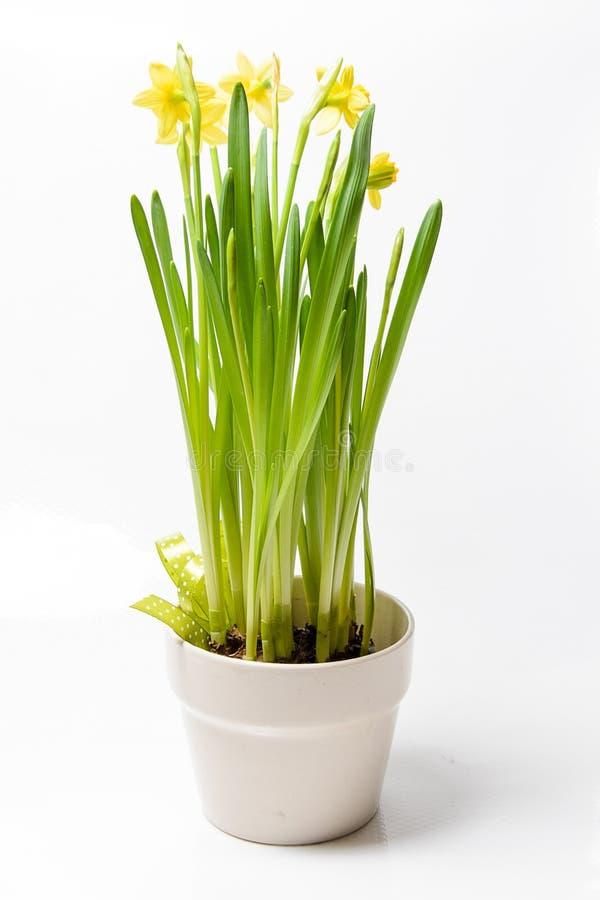 Βιασύνη daffodils & x28 Νάρκισσοι jonquilla& x29  σε ένα δοχείο σε ένα άσπρο backgro στοκ εικόνα