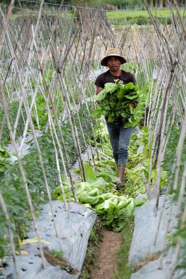 Βιετναμέζικα πράσινα μουστάρδας συγκομιδής αγροτών στοκ φωτογραφία