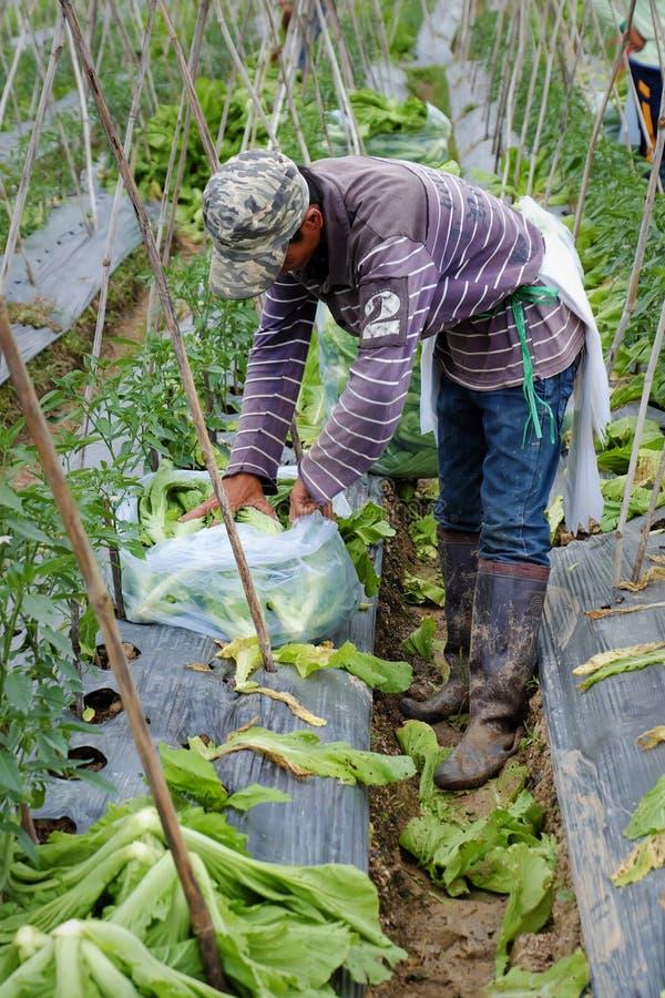 Βιετναμέζικα πράσινα μουστάρδας συγκομιδής αγροτών στοκ εικόνες