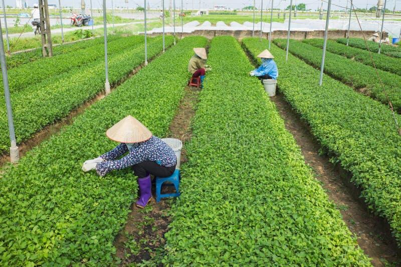 Βιετναμέζικοι αγρότες γυναικών που εργάζονται στο φυτικό τομέα στοκ εικόνες