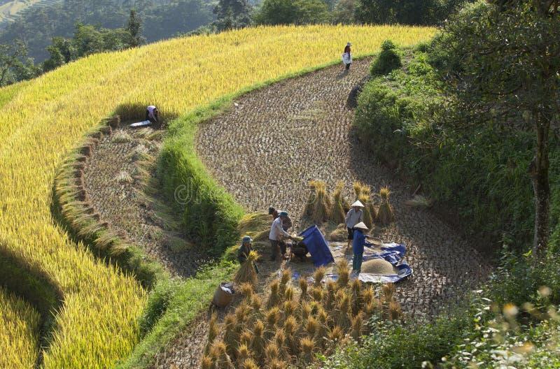 Βιετναμέζικοι αγρότες που συγκομίζουν το ρύζι στο terraced τομέα ορυζώνα στοκ φωτογραφία