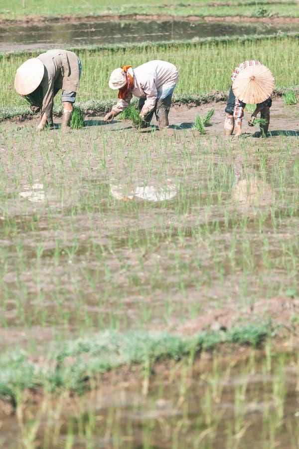 Βιετναμέζικοι αγρότες που φυτεύουν το ρύζι στοκ εικόνες
