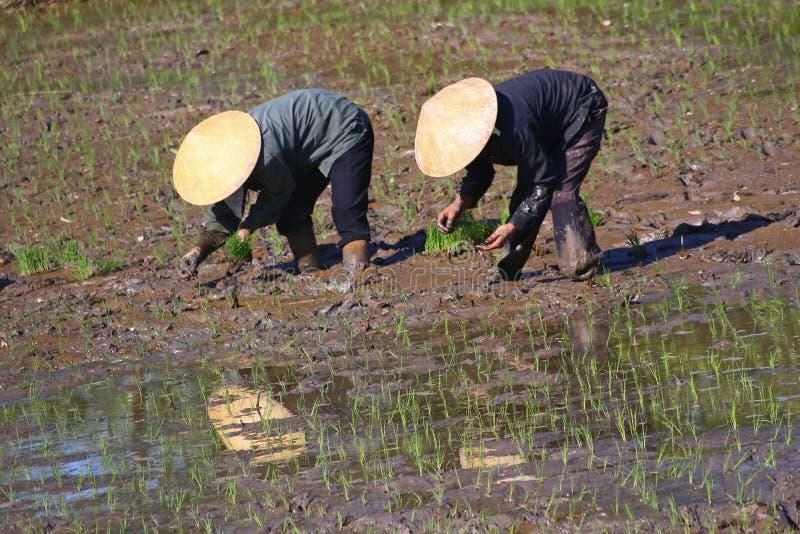 Βιετναμέζικοι εργασία και κόπος αγροτών στους τομείς ρυζιού στοκ φωτογραφία με δικαίωμα ελεύθερης χρήσης