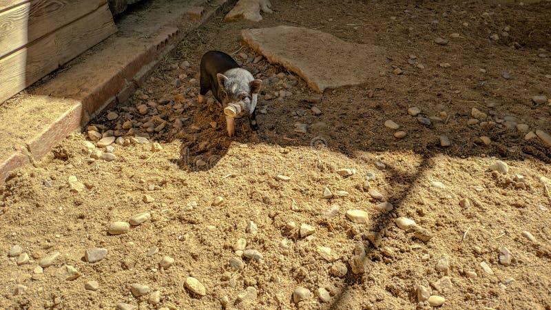 Βιετναμέζικος μαύρος χοίρος σε μια γενναία θέση στοκ εικόνες
