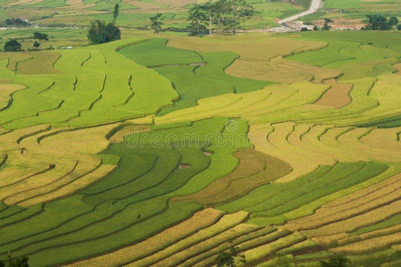 Βιετναμέζικος τομέας ορυζώνα ρυζιού terraced στη συγκομιδή της εποχής Οι Terraced τομείς ορυζώνα χρησιμοποιούνται ευρέως στην καλ στοκ φωτογραφία