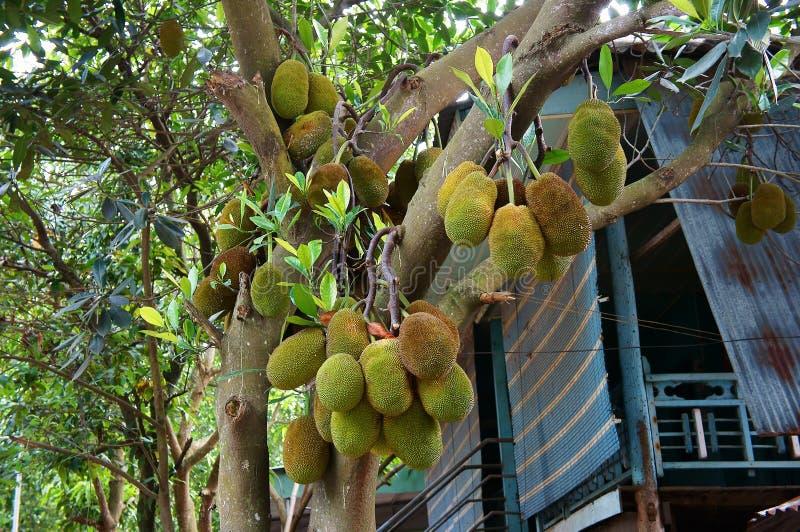 Βιετναμέζικο δέντρο jackfruit στοκ εικόνες