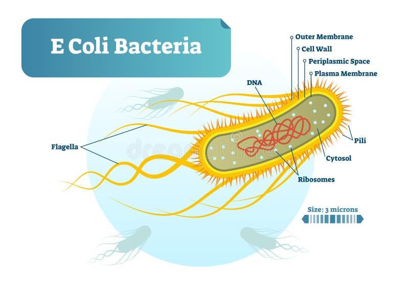 Βιολογική διανυσματική διατομή απεικόνισης μικροϋπολογιστών βακτηριδίων Ε COLI επονομαζόμενη το διάγραμμα Αφίσα πληροφοριών ιατρι ελεύθερη απεικόνιση δικαιώματος