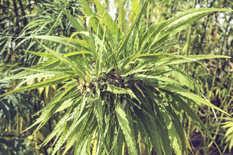 Βιομηχανική κάνναβη μαριχουάνα στον τομέα στοκ φωτογραφία με δικαίωμα ελεύθερης χρήσης