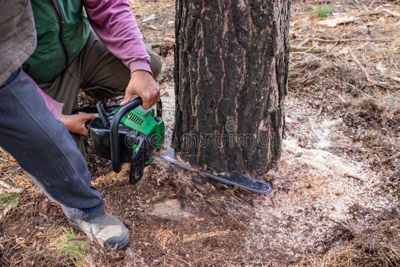 Βιομηχανικό να πριονίσει πεύκων από τους εμπόρους ξυλείας που χρησιμοποιούν ένα αλυσιδοπρίονο στοκ εικόνες
