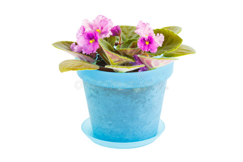 βιολέτα Λουλούδι δωματίων μπλε flowerpot στοκ φωτογραφία