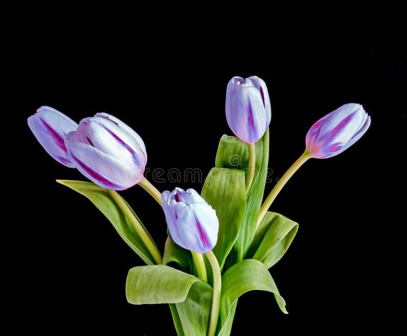 Βιολέτα με τα λουλούδια τουλιπών λωρίδων, ανθοδέσμη, δέσμη, που απομονώνεται επάνω στοκ φωτογραφίες