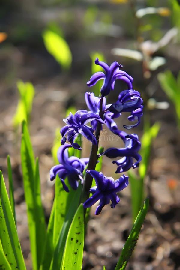βιολέτα λουλουδιών στοκ φωτογραφία με δικαίωμα ελεύθερης χρήσης