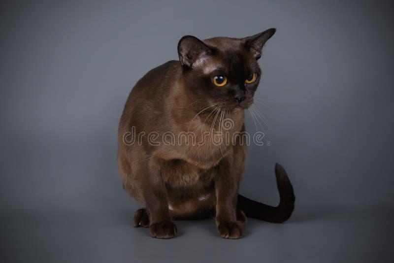 Βιρμανίδα γάτα στα χρωματισμένα υπόβαθρα στοκ φωτογραφίες