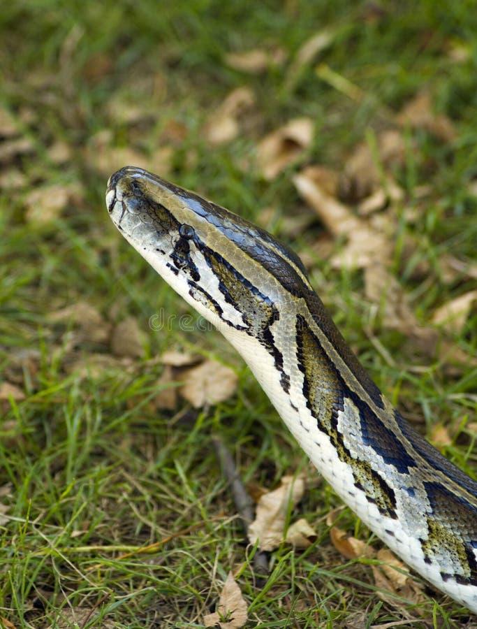 βιρμανός κεφάλι python στοκ εικόνες